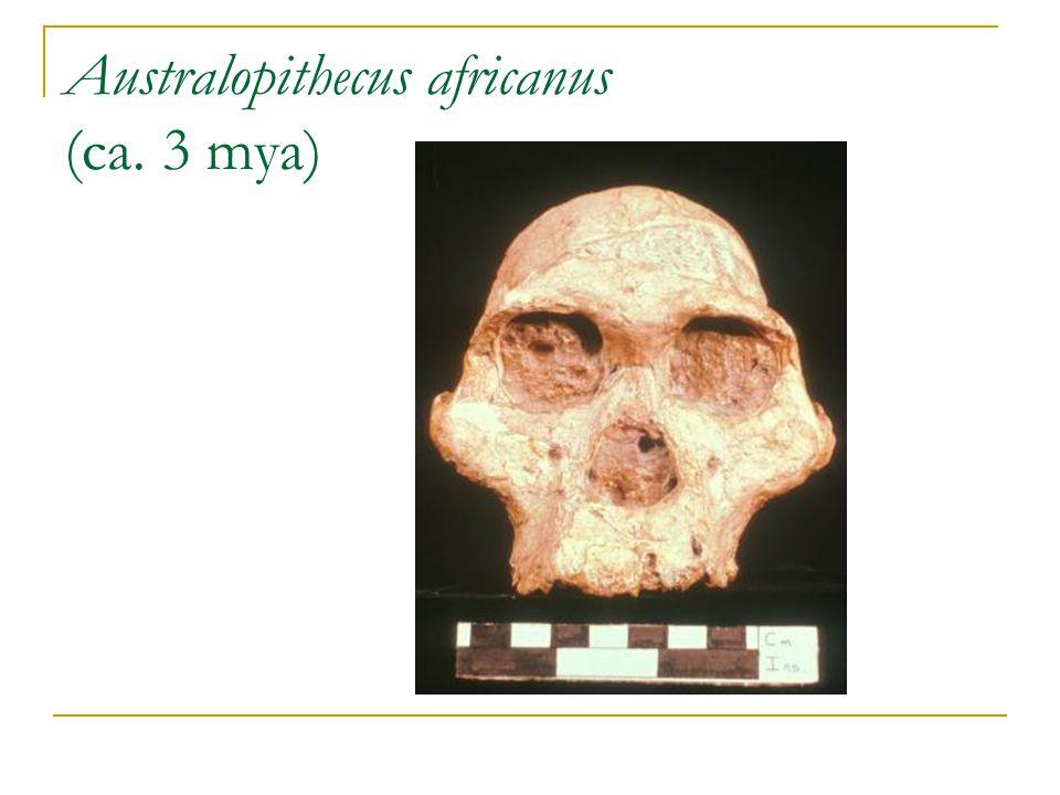 Australopithecus africanus (ca. 3 mya)