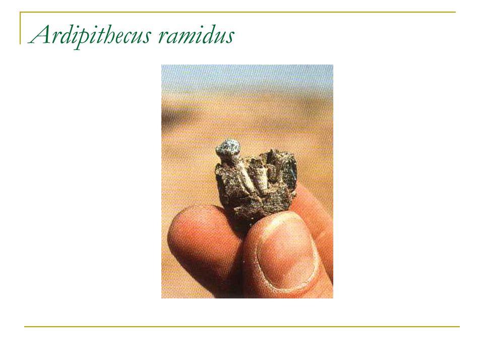 Paranthropus robustus DNH 7, Eurydice , Paranthropus robustus.