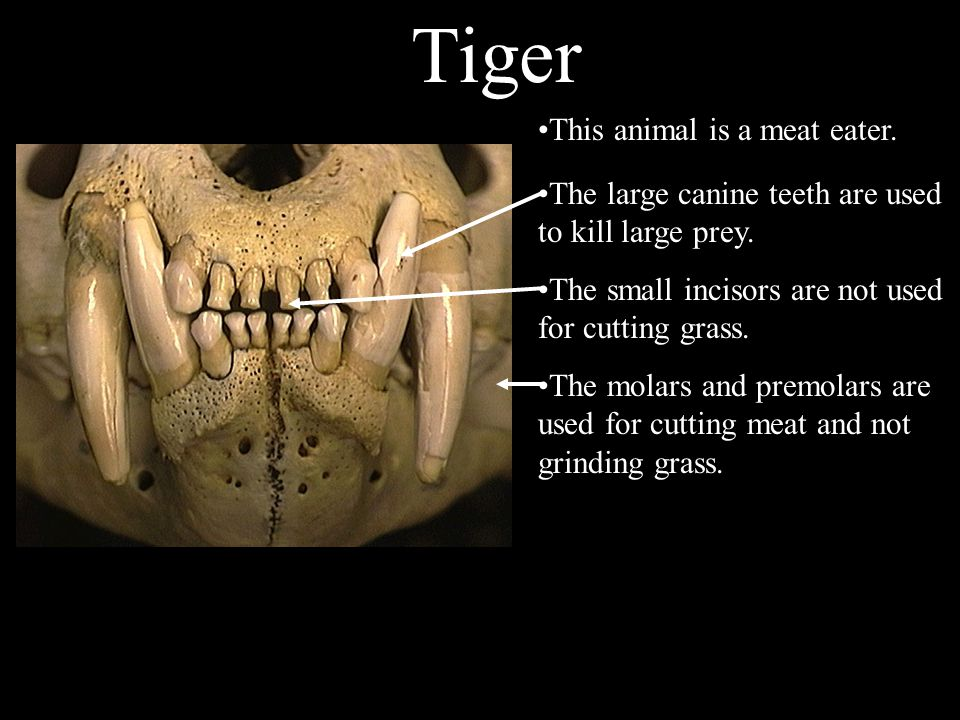 The molars and premolars are used to cut meat and break bones.