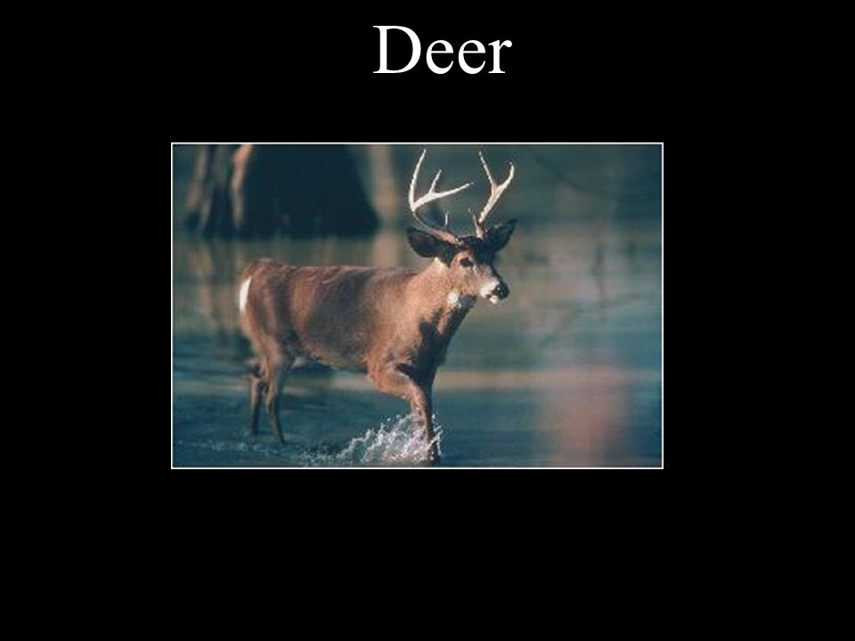 There are no molars or premolars in a deer.