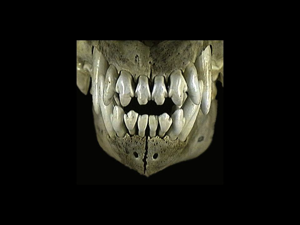 The molars and premolars are used to grind plant matter.