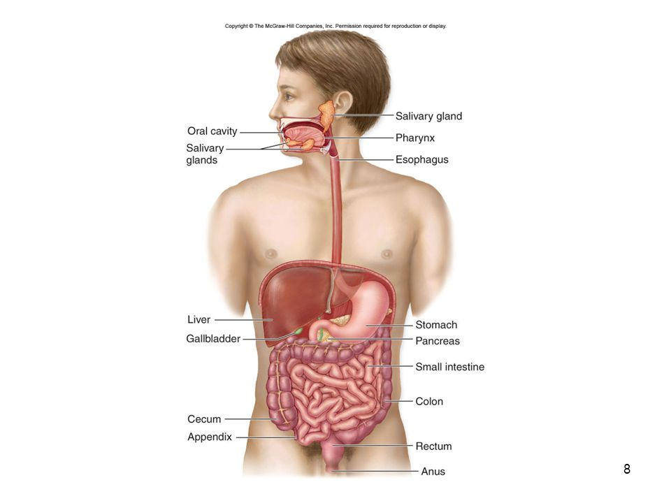 Vertebrate Digestive Systems Accessory organs –Liver Produces bile –Gallbladder Stores and concentrates bile –Pancreas Produces pancreatic juice Digestive enzymes and bicarbonate buffer 9