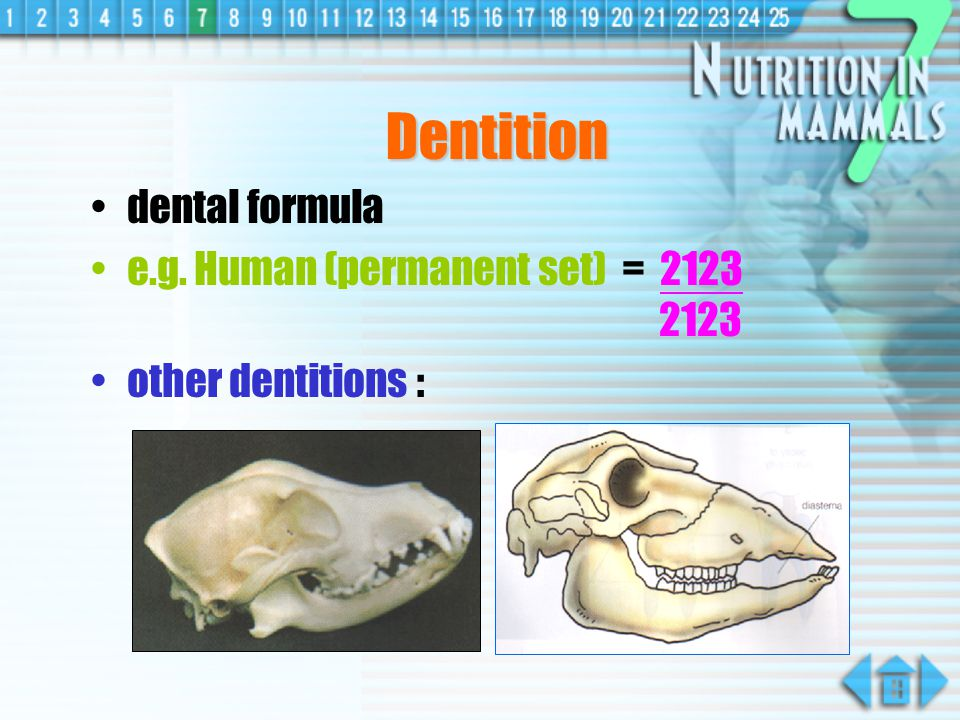 Types of teeth Types of Teeth Shape Functions Incisor Chisel-like & sharp Biting & cutting food Canine Pointed, curved & long Killing prey & tearing flesh Premolar & Molar 2 blunted points of cusps Crushing & grinding food