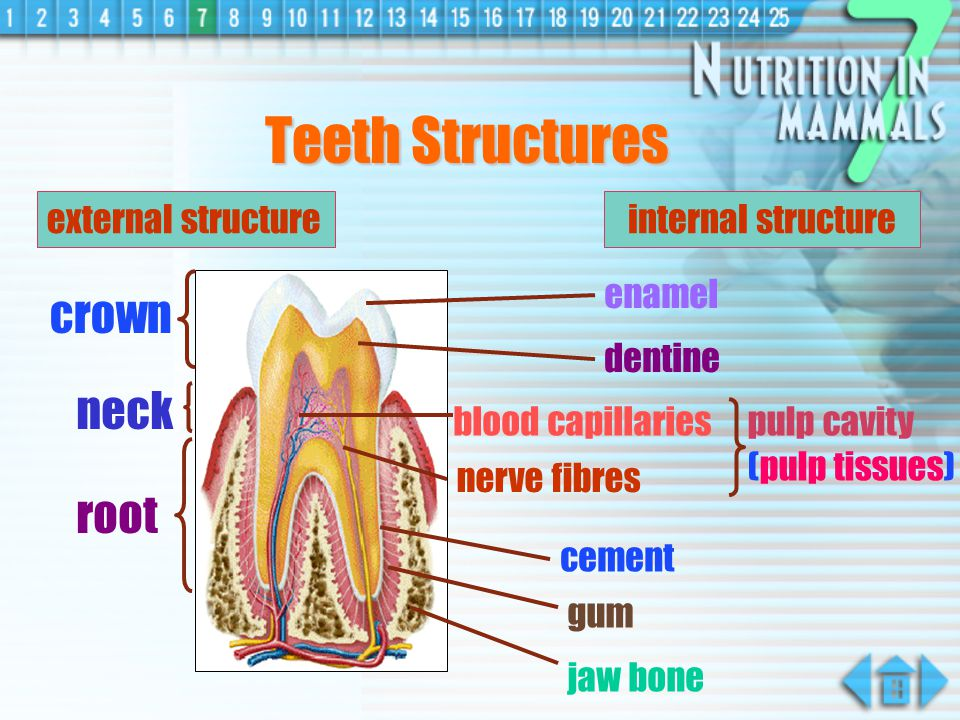 Ingestion a process by which food is taken in through the mouth a reflex action which is involuntary it occurs when the food is put at the posterior position of the tongue