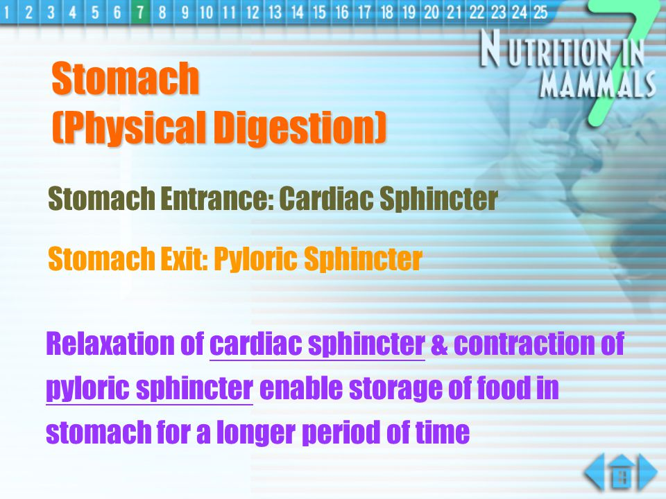 Chemical Digestion Chemical Digestion break down of starch molecules into maltose molecules by salivary amylase (from salivary glands) Starch maltoses salivary glands