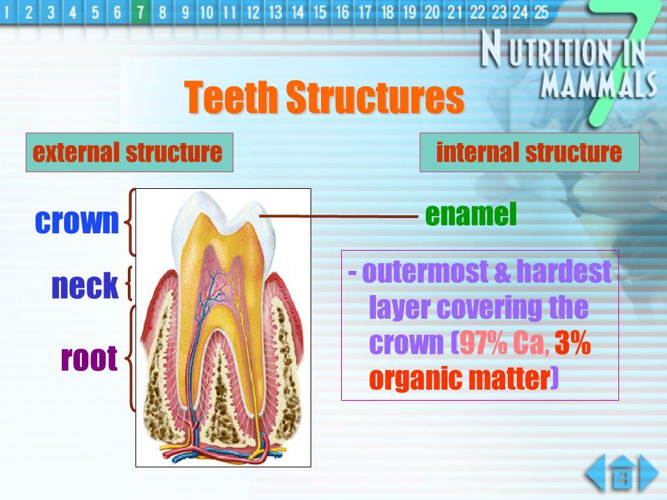 external structureinternal structure enamel dentine blood capillaries nerve fibres cement jaw bone gum crown neck root pulp cavity (pulp tissues) Teeth Structures