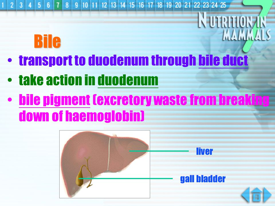 Bile with bile salts (not an enzyme) produced in liver stored in gall bladder duodenum liver gall bladder