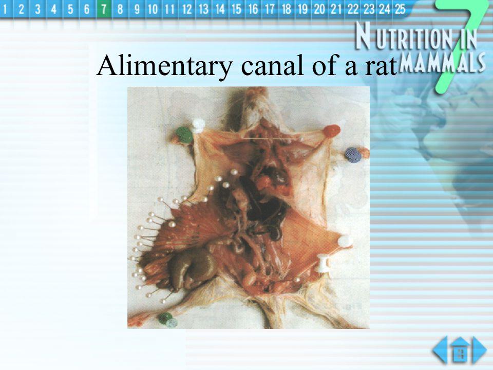 Digestive System in Rabbit