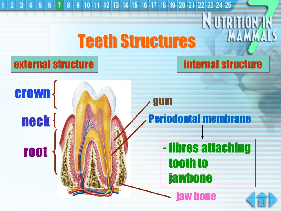 crown neck root - anchor the tooth in its position cement external structure Teeth Structures internal structure