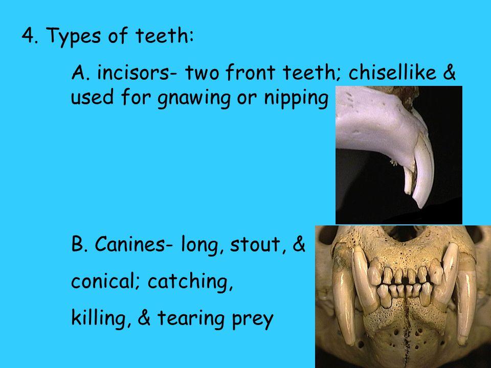 3. Two sets of teeth: A.Deciduous teeth-lost very early; milk teeth B.Permanent teeth- last set of teeth Permanent teethDeciduous teeth