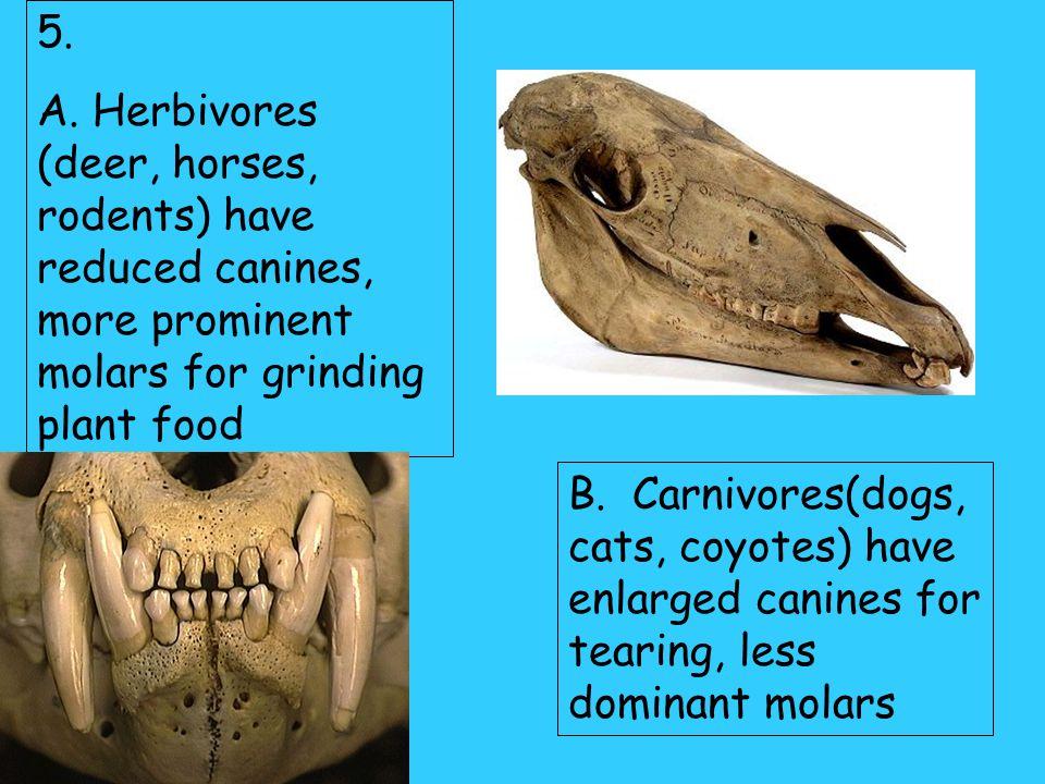C. Premolars- broad flat teeth; for chewing D. Molars- same as premolars