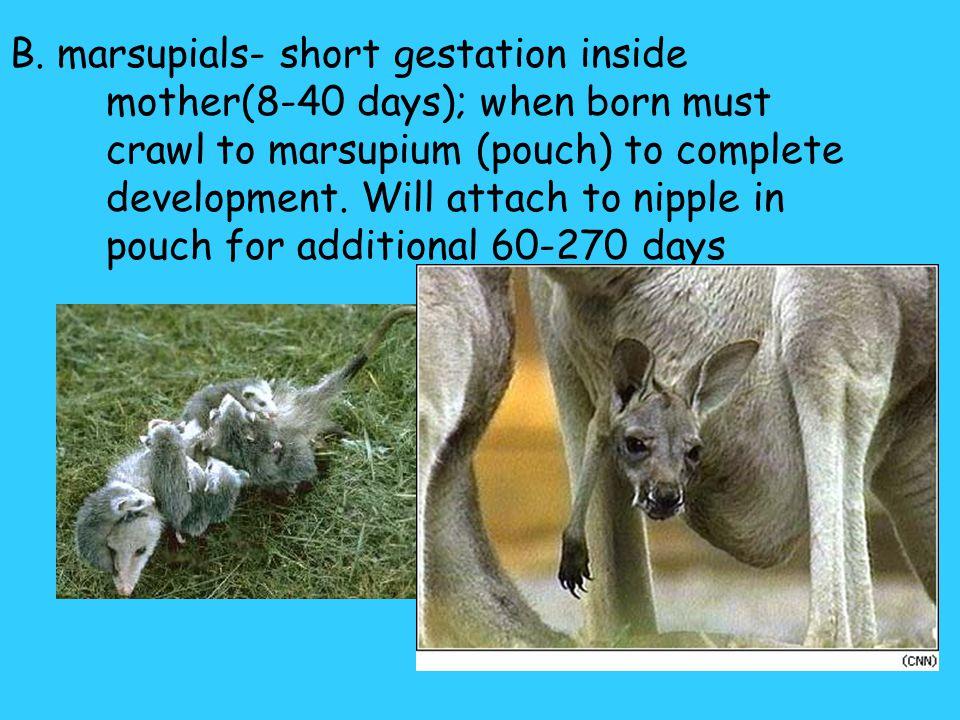 C. polyestrus- many estrus/year- humans 4. Modes of development: A. monotremes- lay eggs- platypus & echidna