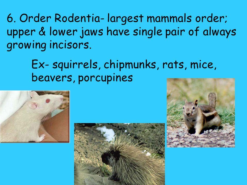 5. Order Lagomorpha- two pairs of upper incisors, one pair of lower incisors. Incisors are always growing & worn down by feeding on vegetation. Ex- ra