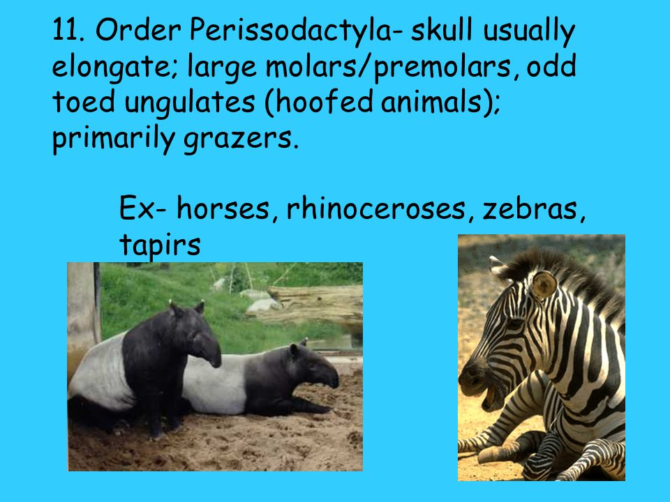 10. Order Sirenia- large, aquatic herbivores; nearly hairless with thick, wrinkled skin; forelimb is flipperlike & hindlimb is vestigial Ex- manatee,