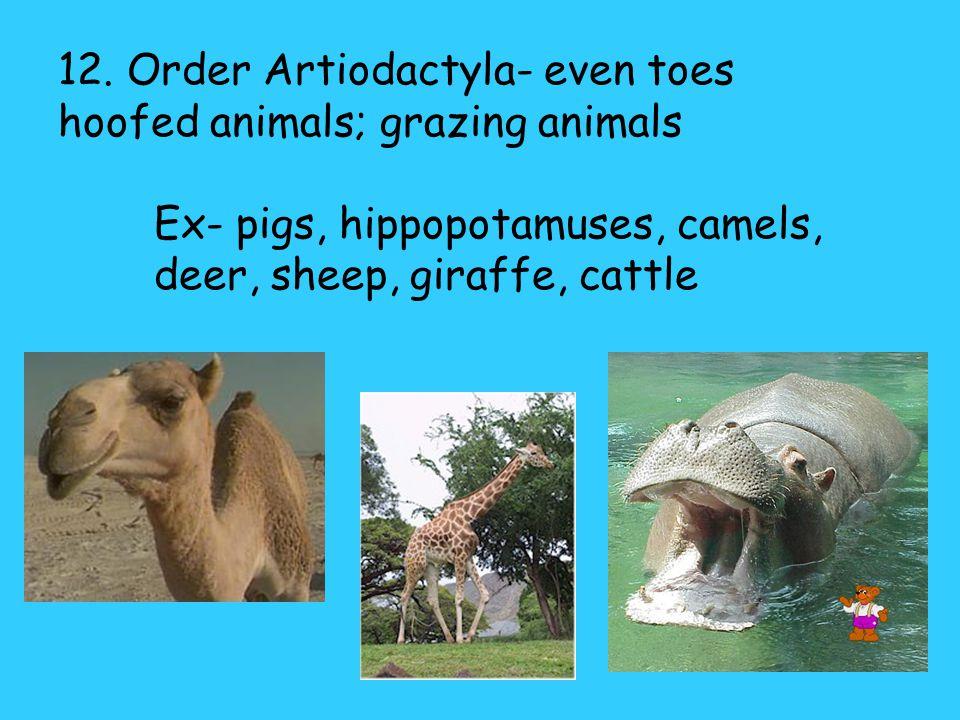 11. Order Perissodactyla- skull usually elongate; large molars/premolars, odd toed ungulates (hoofed animals); primarily grazers. Ex- horses, rhinocer