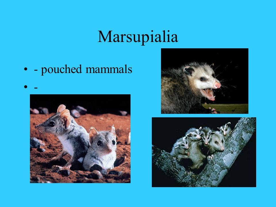 Monotremata -Egg laying mammals - Echidna (Spiny Anteater) - Duckbilled Platypus