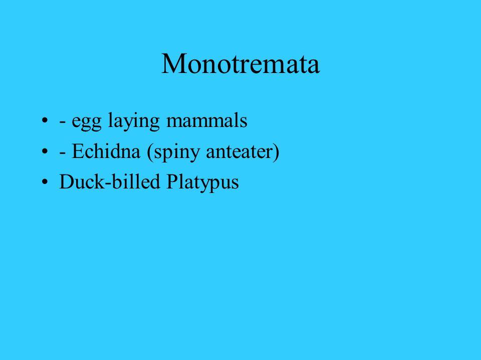 Monotremata - egg laying mammals - Echidna (spiny anteater) Duck-billed Platypus