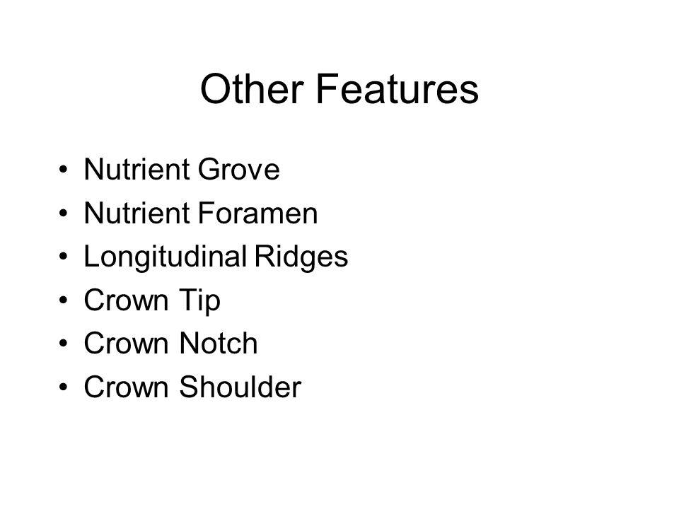 Other Features Nutrient Grove Nutrient Foramen Longitudinal Ridges Crown Tip Crown Notch Crown Shoulder