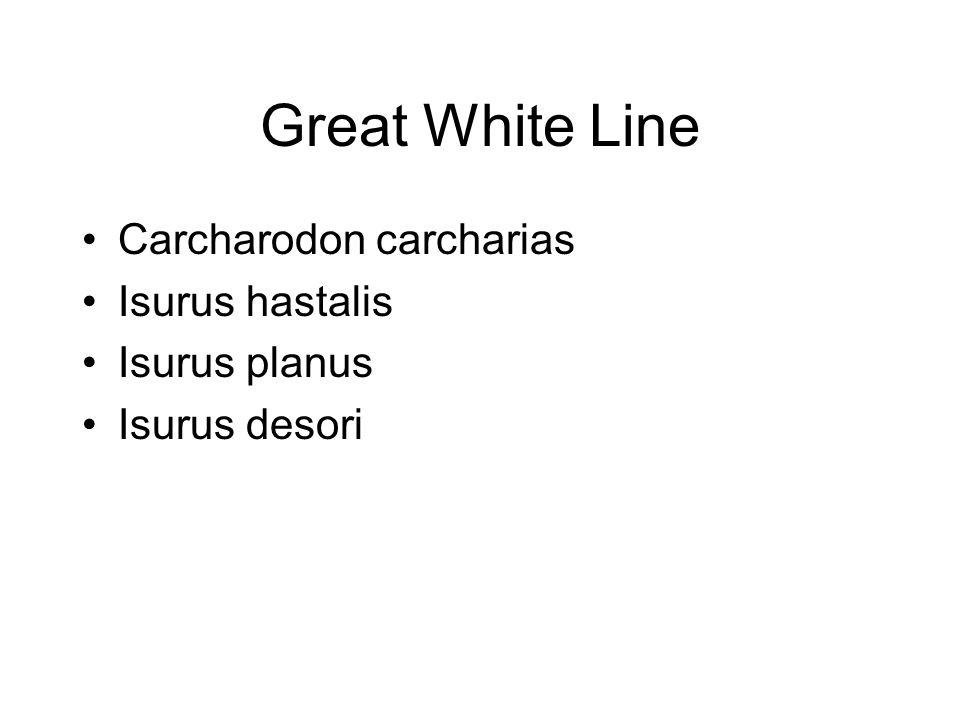 Great White Line Carcharodon carcharias Isurus hastalis Isurus planus Isurus desori