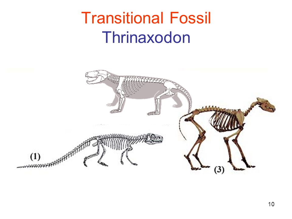 10 Transitional Fossil Thrinaxodon