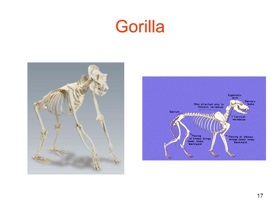 17 Gorilla