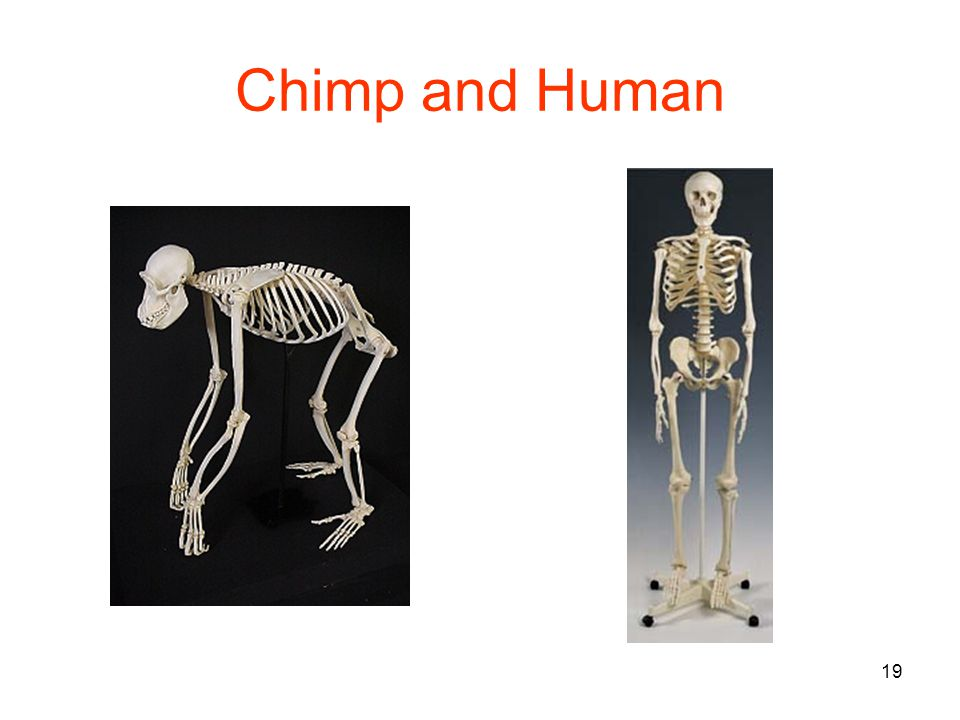19 Chimp and Human