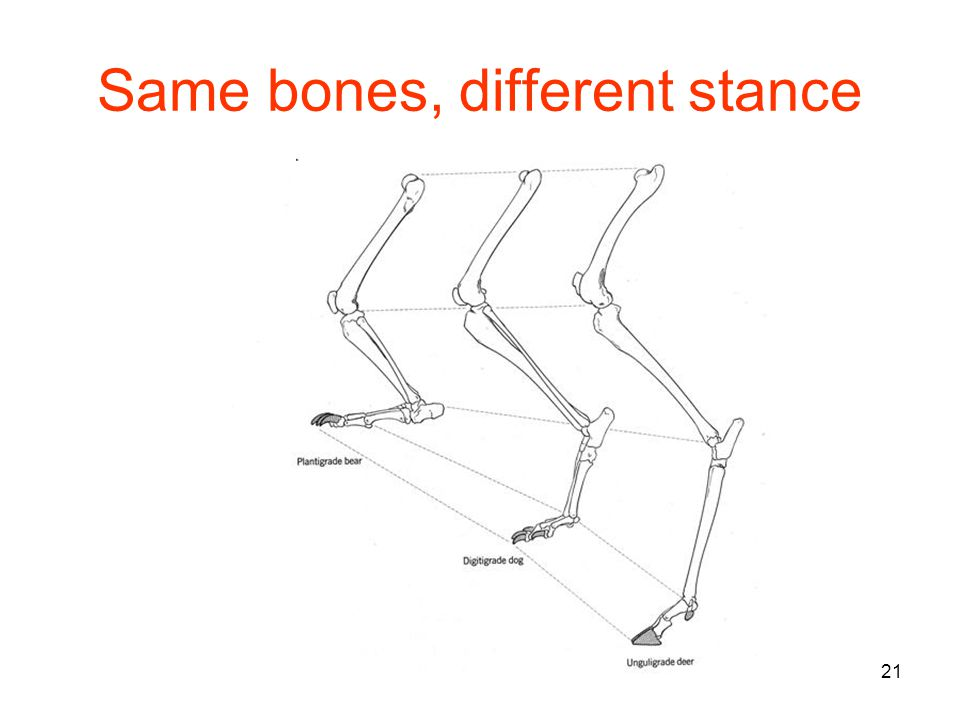 21 Same bones, different stance