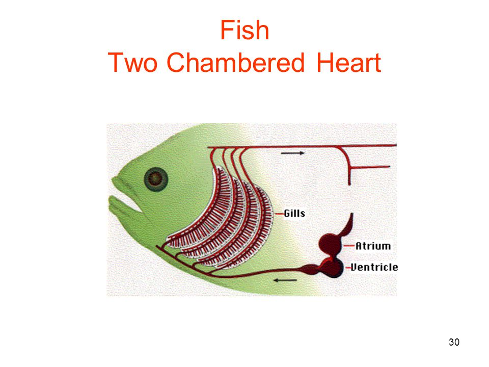 30 Fish Two Chambered Heart