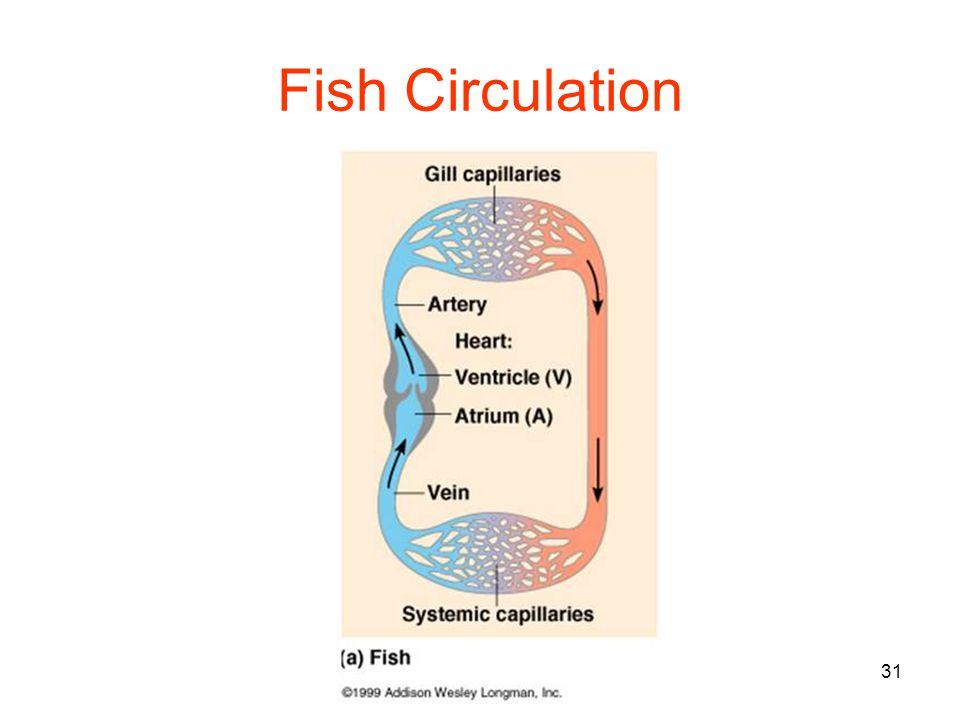 31 Fish Circulation