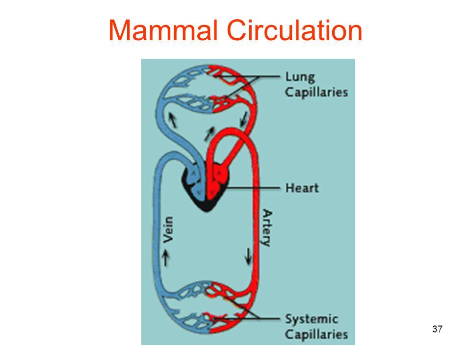37 Mammal Circulation