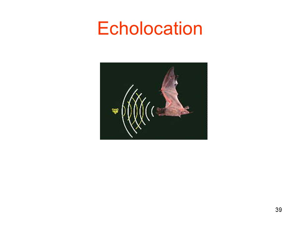 39 Echolocation