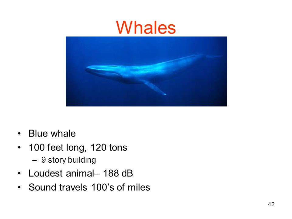 42 Whales Blue whale 100 feet long, 120 tons –9 story building Loudest animal– 188 dB Sound travels 100s of miles