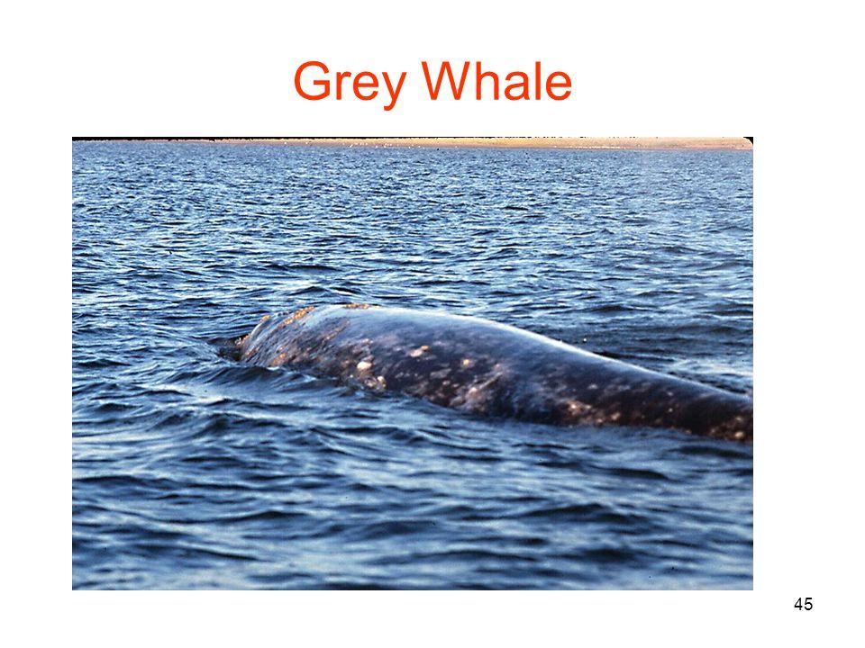 45 Grey Whale