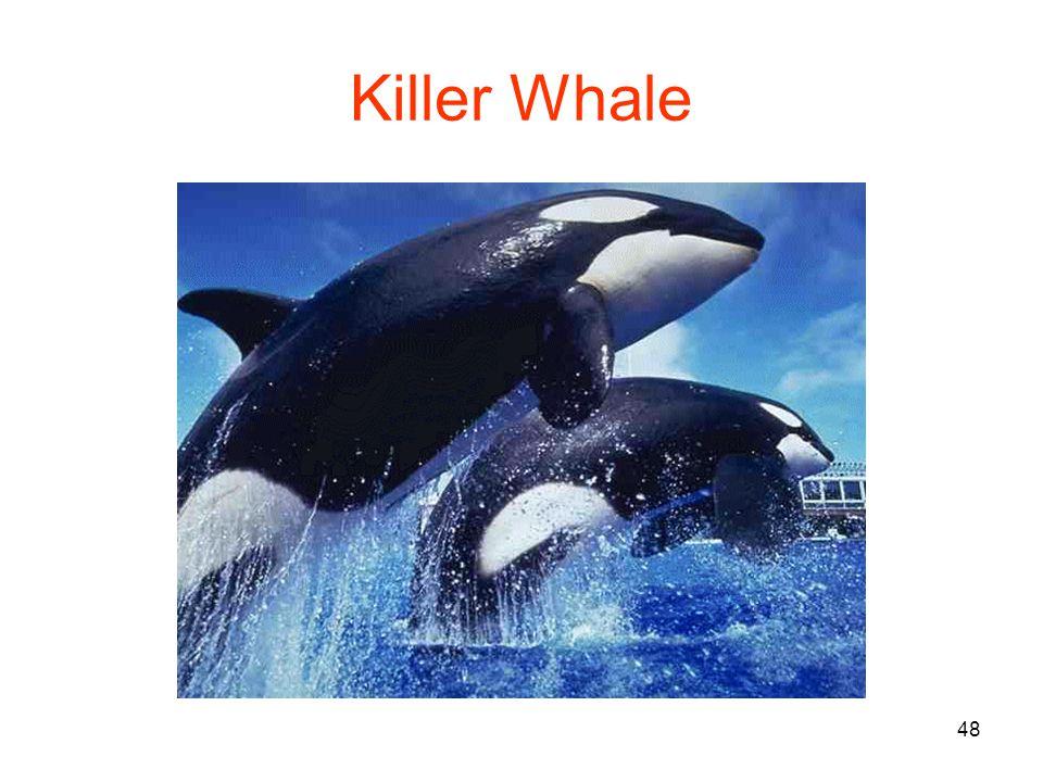 48 Killer Whale