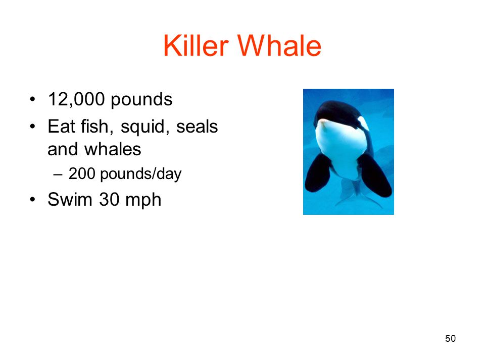 50 Killer Whale 12,000 pounds Eat fish, squid, seals and whales –200 pounds/day Swim 30 mph