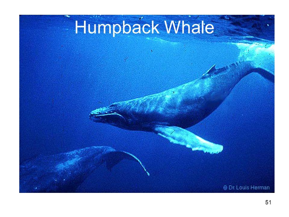 51 Humpback Whale
