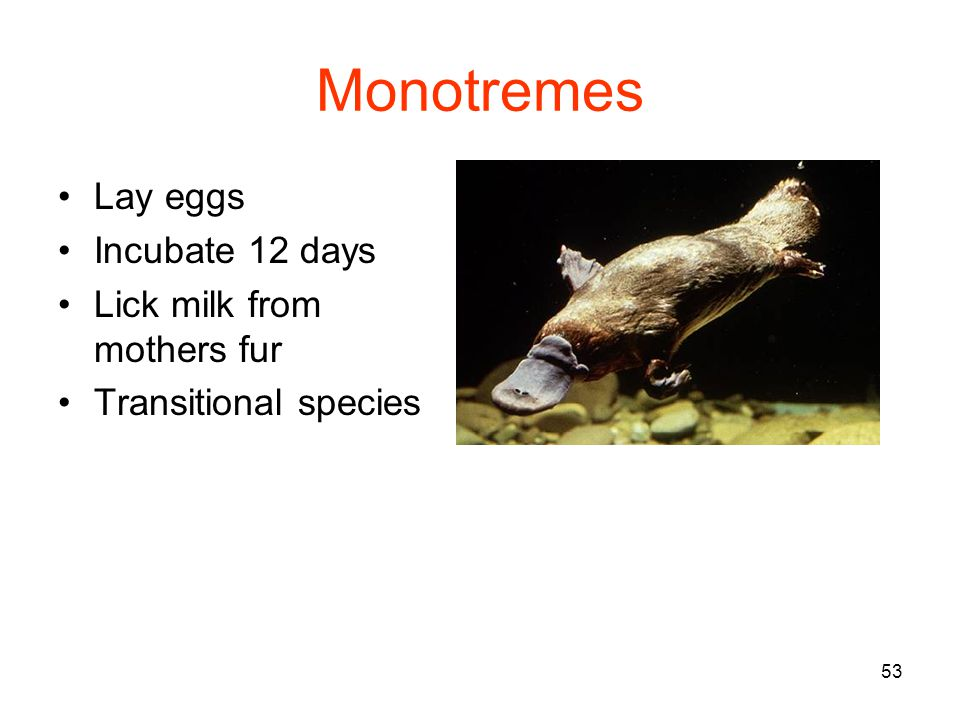 53 Monotremes Lay eggs Incubate 12 days Lick milk from mothers fur Transitional species