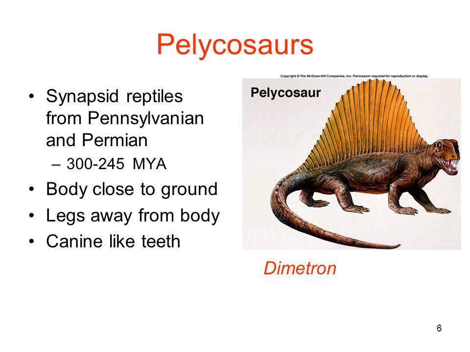 6 Pelycosaurs Synapsid reptiles from Pennsylvanian and Permian –300-245 MYA Body close to ground Legs away from body Canine like teeth Dimetron