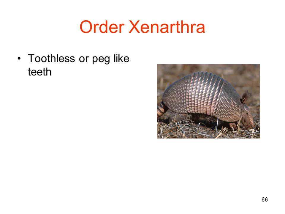 66 Order Xenarthra Toothless or peg like teeth