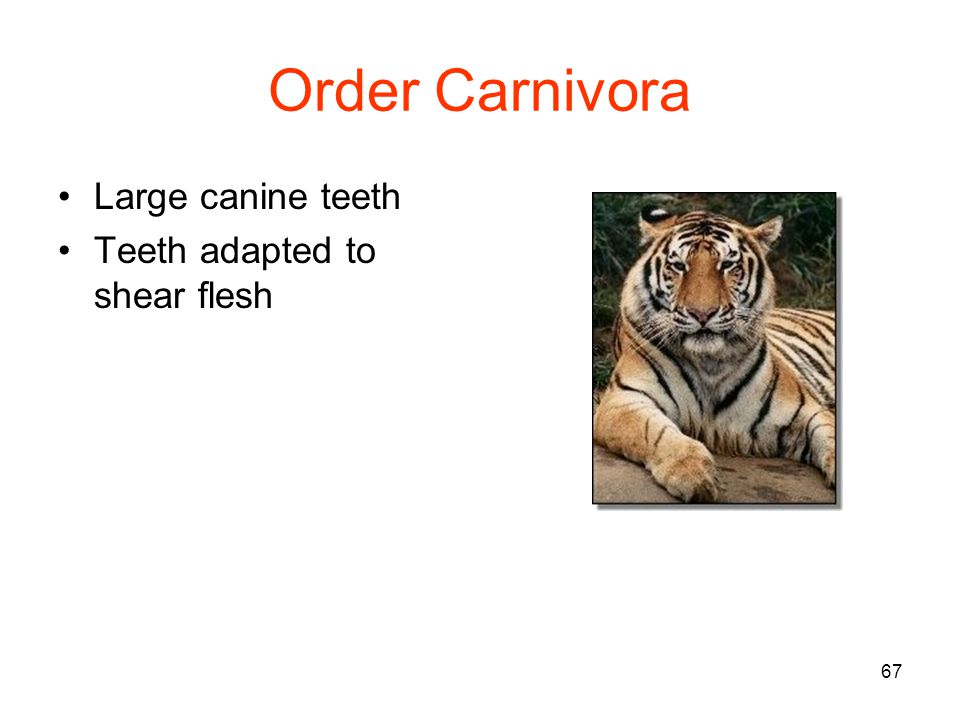 67 Order Carnivora Large canine teeth Teeth adapted to shear flesh