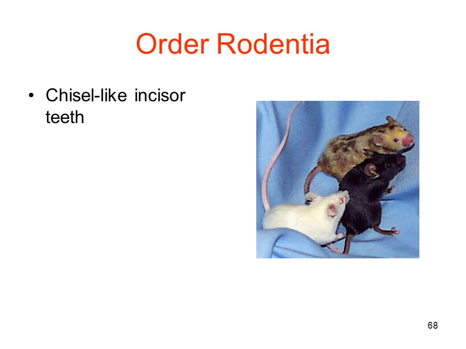 68 Order Rodentia Chisel-like incisor teeth