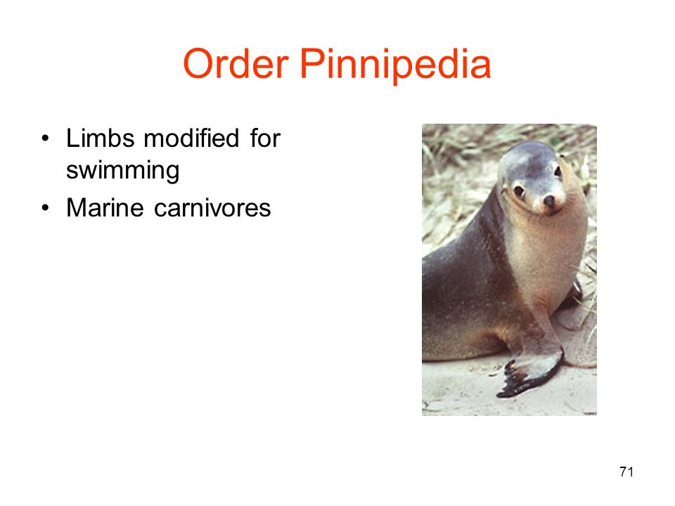 71 Order Pinnipedia Limbs modified for swimming Marine carnivores
