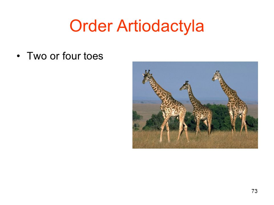 73 Order Artiodactyla Two or four toes