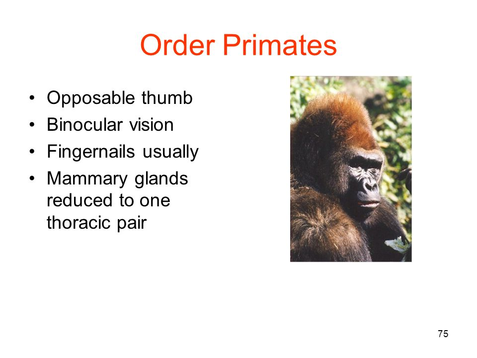 75 Order Primates Opposable thumb Binocular vision Fingernails usually Mammary glands reduced to one thoracic pair