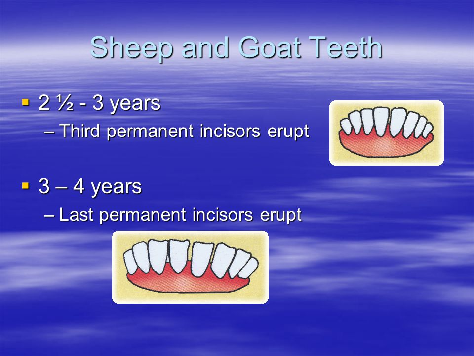 Sheep and Goat Teeth 2 ½ - 3 years 2 ½ - 3 years –Third permanent incisors erupt 3 – 4 years 3 – 4 years –Last permanent incisors erupt