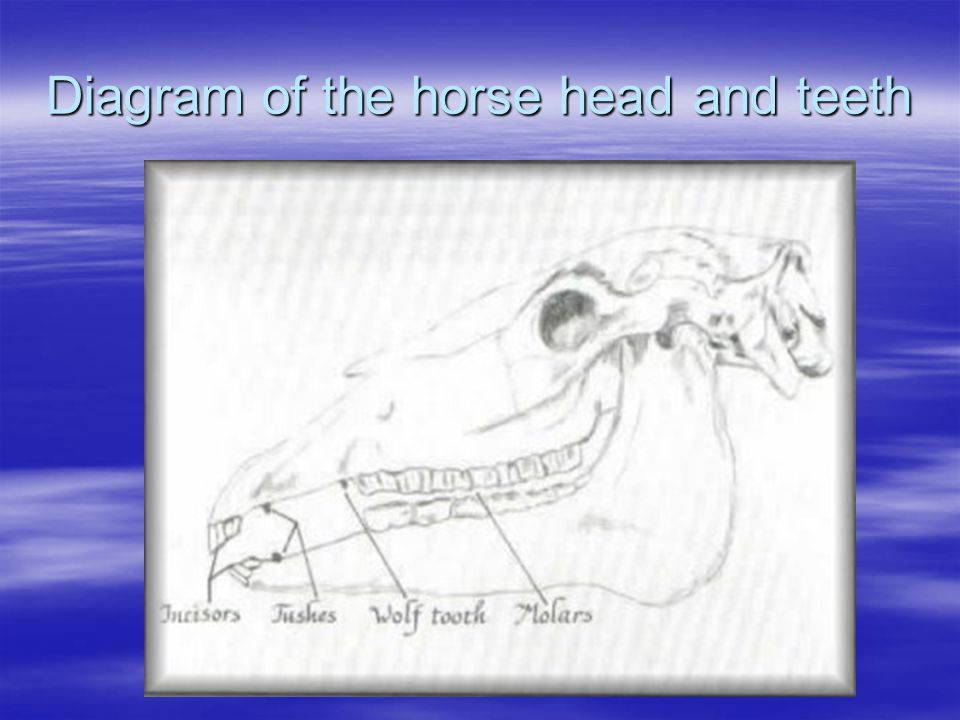 Aging Horses The following presents important dates for aging horses.