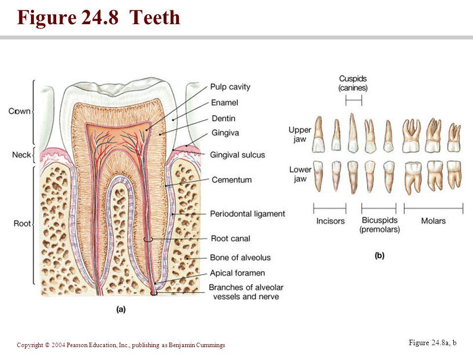 Copyright © 2004 Pearson Education, Inc., publishing as Benjamin Cummings Figure 24.8 Teeth Figure 24.8a, b