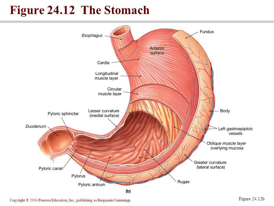 Copyright © 2004 Pearson Education, Inc., publishing as Benjamin Cummings Figure 24.12 The Stomach Figure 24.12b