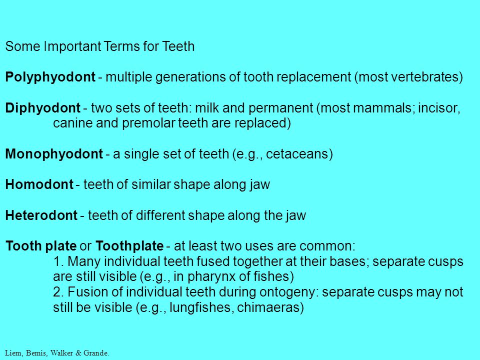 Some Important Terms for Teeth Polyphyodont - multiple generations of tooth replacement (most vertebrates) Diphyodont - two sets of teeth: milk and pe