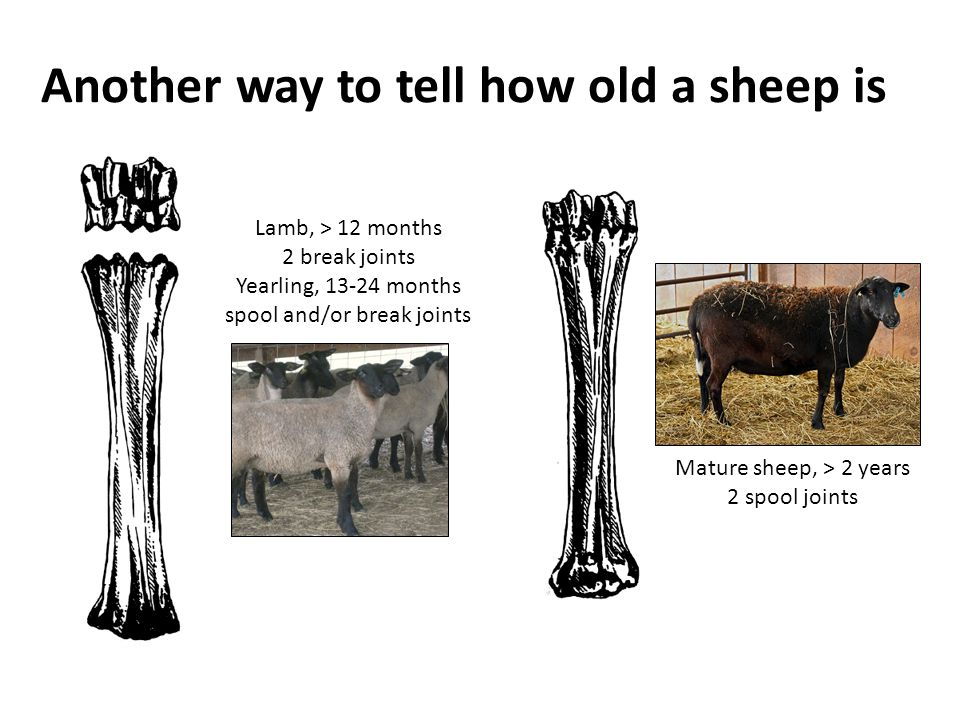Another way to tell how old a sheep is Mature sheep, > 2 years 2 spool joints Lamb, > 12 months 2 break joints Yearling, 13-24 months spool and/or bre